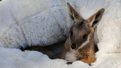 Baby joey, Dorito, has taken her first hops just in time for Australia Day.