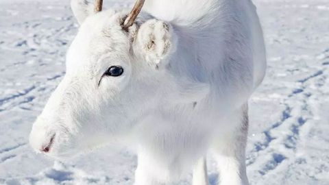The rare white reindeer's coat is due to a genetic mutation. (Caters)