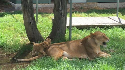 Keepers say the cubs are growing and developing well. (9NEWS)