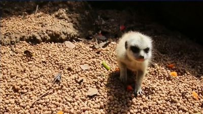 Mystery of the missing Perth Zoo meerkat