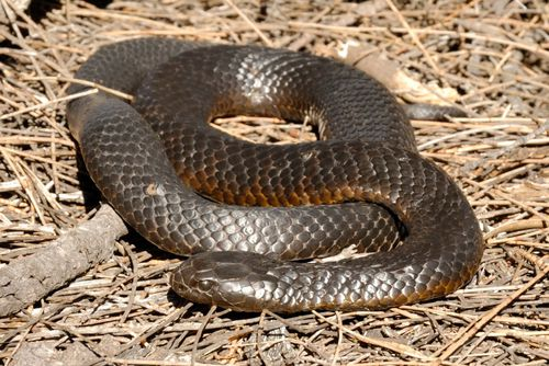 Australia is home to the highest proportion of snakes, lizards, crocodiles and turtles found in any country.