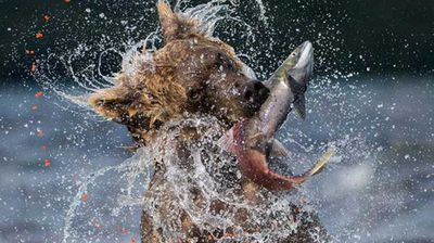 Sockeye catch. Photo: Valter Bernardeschi, Italy.