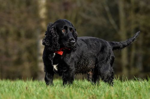 The black Cocker Spaniel has an aggressive form of cancer.