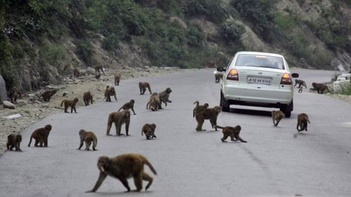 The increased aggressiveness has sparked outcries from environmental and protest groups concerned about the animals' place in India.