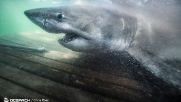 The massive shark left researchers 'humbled' when they released her full size and age.