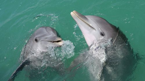 The study involved 17 adult male dolphins in Western Australia. (File image)