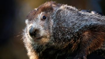 The top hat-wearing members of the Punxsutawney Groundhog Club's Inner Circle reveal Phil's forecast every February 2. (AP/AAP)