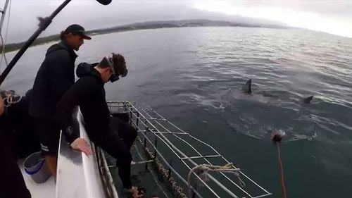 Sharks circle 9NEWS reporter Michael Best, swimming in the cage. (Image: 9NEWS)