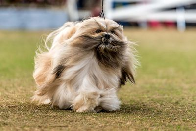 Best in show: lhasa apso
