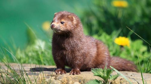 An American Mink in Surrey, England.