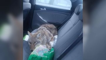 Man hits a dog while driving and rescues it only to realise it's actually a coyote