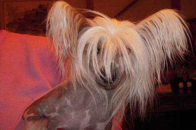 Chinese crested dog<br>