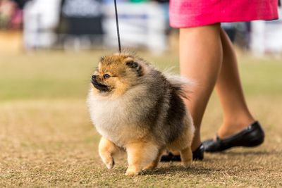 Best puppy in show: Pomeranian