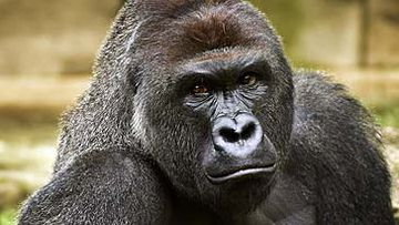 Gorilla at Cincinnati Zoo and Botanical Garden (AAP)
