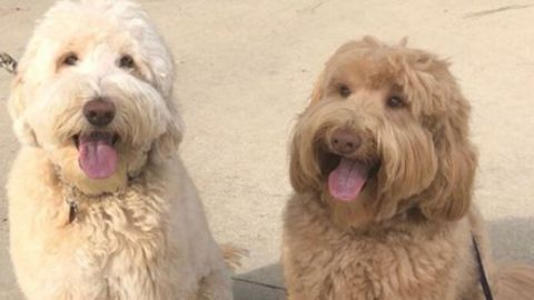 Louie the Labradoodle and his brother. (Walela Nehanda /Twitter)