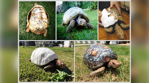 Before and after: Freddy receives her new shell. (GC Noticias)