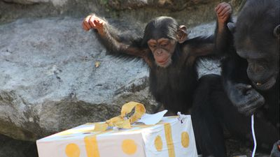 <p>Animals at Taronga Zoo have experienced the joy of Christmas early, with staff treating them to 'enrichment' presents and festive snacks. </p><p><strong>Click through the gallery to see more adorable images of the festivities.</strong></p><p>(All images: AAP)</p>