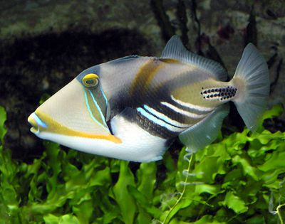 <strong><em>Non-gender binary triggerfish</em></strong>