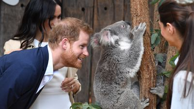 Cheeky koala ignores Prince Harry