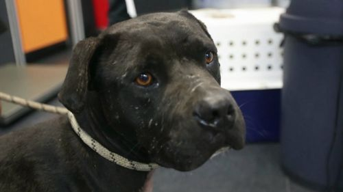The RSPCA believes several of the dogs have been used in dog-fighting. (Image courtesy of RSPCA Queensland)