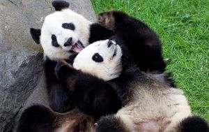Future of pandas at Adelaide Zoo unclear