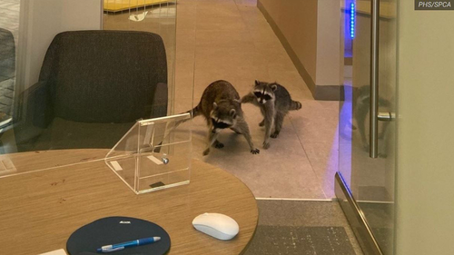 The two racoons were found feasting on cookies.