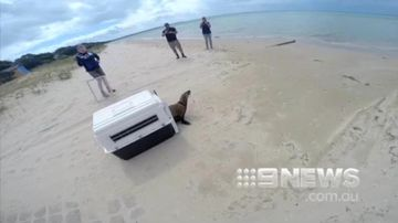 Meet the team who are saving Victoria's distressed seals