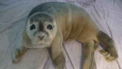 The seal pup was rescued but was underweight, dehydrated and later developed a lung infection. (Natureland Seal Sanctuary)
