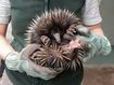 Shy echidna puggle settling in at Taronga Zoo Sydney