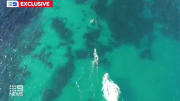 NSW Police Rescue has attempted a high-stakes rescue after a whale became entangled in netting off Coogee Beach.