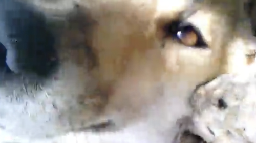 In one clip the dingo is seen waking up next to his mate.