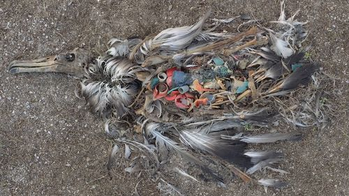 Plastic and assorted fishing equipment can be seen in one bird's stomach. Picture: Chris Jordan