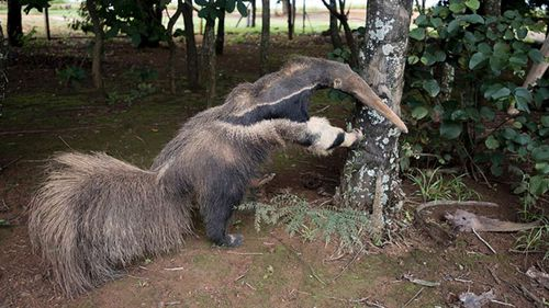 A photograph of a taxidermy anteater, provided by anonymous, third-party sources (National History Museum)
