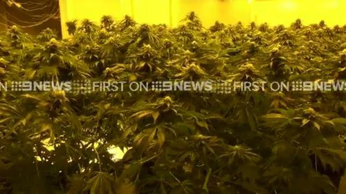 Five men arrested as Sydney drug raids uncover six homes filled with cannabis plants