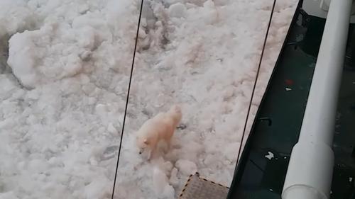 Было замечено, что собака виляет хвостом и идет с имбирем по битому льду.