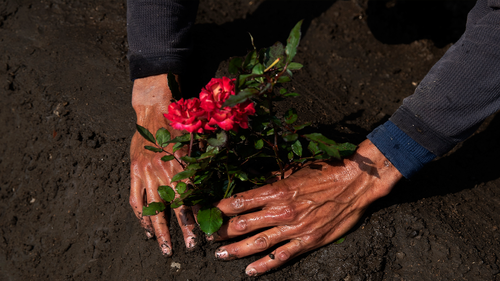 Cemetery worker Jorge Arvizu plants a rose bush on a grave at the municipal cemetery Valle de Chalco amid the new coronavirus pandemic, on the outskirts of Mexico City, Tuesday, Oct. 20, 2020. Mexican families traditionally flock to local cemeteries to honor their dead relatives as part of the Dia de los Muertos, or Day of the Dead celebrations, but according to authorities the cemeteries will be closed this year to help curb the spread of COVID-19. (AP Photo/Marco Ugarte)