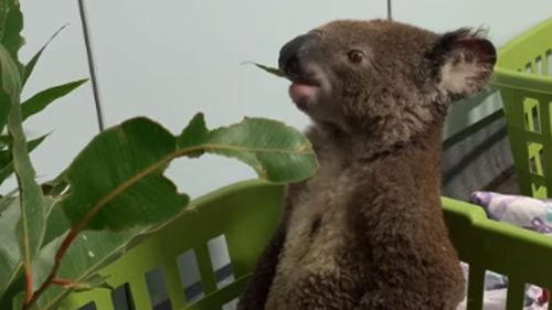 Port Macquarie Koala Hospital shares video of Bazza recovering after fires.