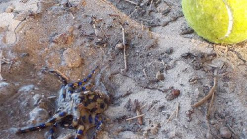 Blue ringed octopus hides inside ball children played with
