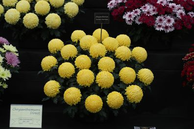 Chrysanthemum Archie Harrison, named to celebrate the birth of the the Duke and Duchess of Sussex first child, on display at the RHS Chelsea Flower Show at the Royal Hospital Chelsea, London.