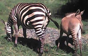 Zebra gives birth to rare hybrid 'zonkey' after mating with a donkey
