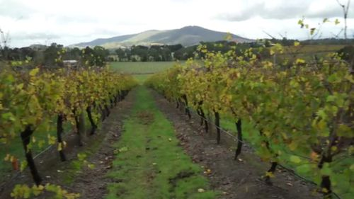 The Levantine Hill Estate vineyard is located in the Yarra Valley. (9NEWS)