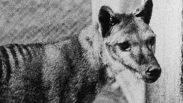 Tasmanian tiger may not be extinct