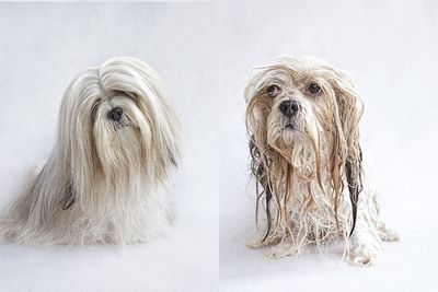 <p>Harry the Lhasa Apso<br><br></p>