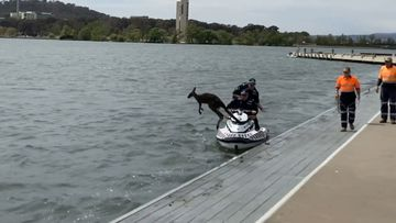 A kangaroo played hard to get with rescuers who tried several times to help it out of Lake Burleigh Griffin.