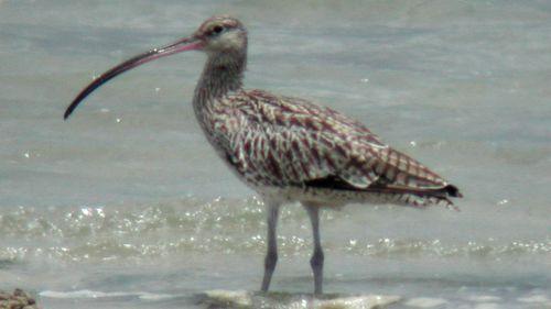 Chinese, Korean coastal development closes stopover for Australian migratory birds