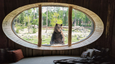 A nosy brown bear gazes into a guestroom at Pairi Daiza Resort.