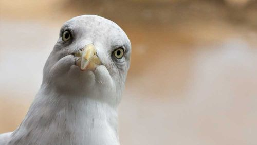 A seagull made off with a chunk of human tongue that was bitten off in a street-fight in Scotland.