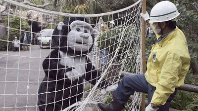The gorilla 'attacked' a zookeeper during its faked rampage.
