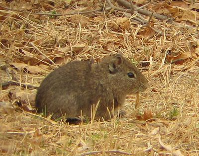<strong>#7 Common yellow-toothed cavy</strong>