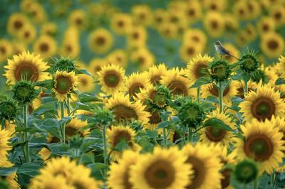 'Sunflower songbird'. Winner - 11-14 years